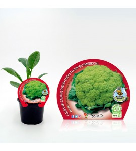 Coliflor Verde M-10,5 Brassica oleracea var. botrytis - 02025056 (1)