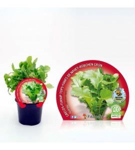 Grelo M-10,5 Brassica rapa - 02025103 (1)