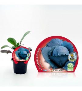 Col Lombarda M-10,5 Brassica oleracea var. capitata - 02025054 (1)