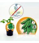 Guisante Mata Baja M-10,5 Pisum sativum