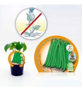 Judía Baja Redonda M-10,5 Phaseolus vulgaris - 02025109 (1)