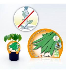 Judía Baja Plana M-10,5 Phaseolus vulgaris - 02025078 (1)