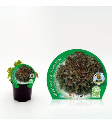Lechuga Hoja de Roble M-10,5 Lactuca sativa - 02025042 (1)