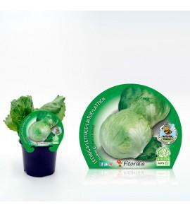 Lechuga Iceberg M-10,5 Lactuca sativa - 02025043 (1)