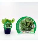 Lechuga Maravilla M-10,5 Lactuca sativa