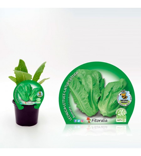 Lechuga Romana M-10,5 Lactuca sativa - 02025046 (1)