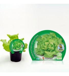 Lechuga Trocadero M-10,5 Lactuca sativa - 02025044 (1)