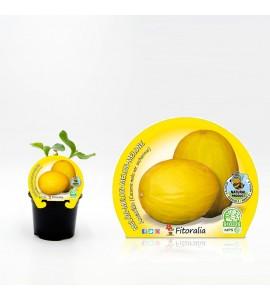 Melón Amarillo M-10,5 Cucumis melo var. sacharinus - 02025091 (1)