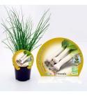 Puerro M-10,5 Allium porrum