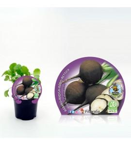 Rábano Negro M-10,5 Raphanus sativus - 02025152 (1)