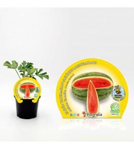 Sandía Melona Klondike M-10,5 Citrullus lanatus - 02025029 (1)
