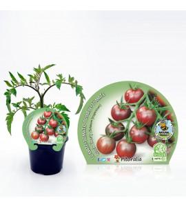 Tomate Cherry Black M-10,5 Solanum lycopersicum - 02025110 (1)