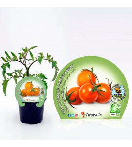 Tomate Cherry Naranjito M-10,5 Solanum lycopersicum - 02025025 (1)