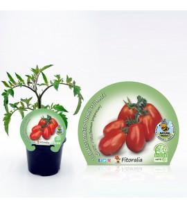 Tomate Cherry Pera M-10,5 Solanum lycopersicum - 02025006 (1)