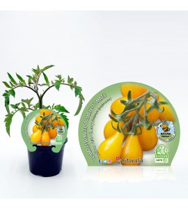 Tomate Cherry Yellow Pear M-10,5 Solanum lycopersicum - 02025112 (1)