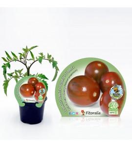 Tomate Cherry Zebra Pear M-10,5 Solanum lycopersicum - 02025142 (1)