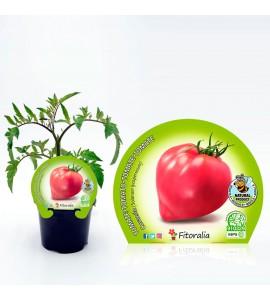 Tomate Corazón M-10,5 Solanum lycopersicum - 02025114 (1)