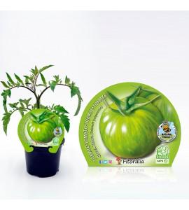 Tomate Green Zebra M-10,5 Solanum lycopersicum - 02025096 (1)