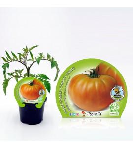 Tomate Muchamiel M-10,5 Solanum lycopersicum - 02025097 (1)