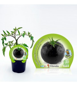 Tomate Negro Indigo Rose M-10,5 Solanum lycopersicum - 02025145 (1)