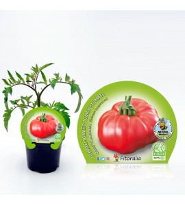 Tomate Omar Lebanese M-10,5 Solanum lycopersicum - 02025011 (1)