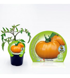Tomate Orange Queen M-10,5 Solanum lycopersicum - 02025146 (1)