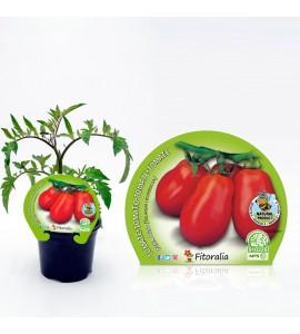 Tomate Pera Mata Alta M-10,5 Solanum lycopersicum - 02025016 (1)