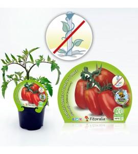 Tomate Pera Mata Baja M-10,5 Solanum lycopersicum - 02025017 (1)