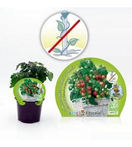 Tomate Primabell M-10,5 Solanum lycopersicum - 02025090 (1)