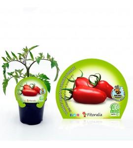 Tomate San Marzano M-10,5 Solanum lycopersicum