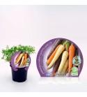 Zanahoria Colores M-10,5 Daucus carota