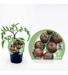Tomate Cherry Zebra M-10,5 Solanum lycopersicum - 02025113 (1)