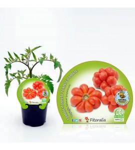 Tomate Voyage M-10,5 Solanum lycopersicum