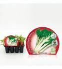 Pack Acelga Verde 12 Ud. Beta vulgaris