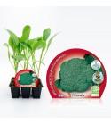 Pack Brócoli 6 Ud. Brassica oleracea var. italica