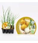 Pack Cebolla Babosa 12 Ud. Allium cepa
