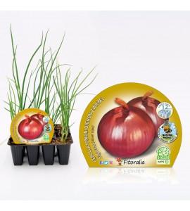 Pack Cebolla Figueras 12 Ud. Allium cepa - 02031028 (1)