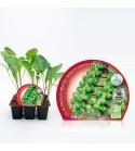 Pack Col Bruselas 6 Ud. Brassica oleracea var. gemmifera