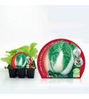 Pack Col China 6 Ud. Brassica pekinensis