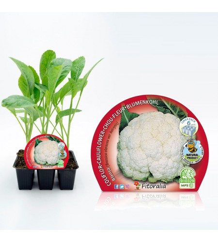 Pack Coliflor Blanca 6 Ud. Brassica oleracea var. botrytis - 02031042 (1)