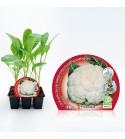 Pack Coliflor Blanca 6 Ud. Brassica oleracea var. botrytis