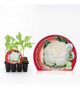 Pack Coliflor Blanca 12 Ud. Brassica oleracea var. botrytis - 02031006 (1)