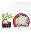 Pack Coliflor Blanca 12 Ud. Brassica oleracea var. botrytis