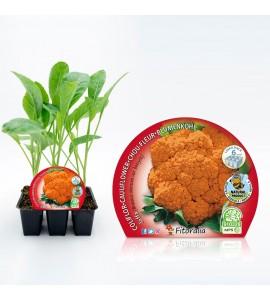 Pack Coliflor Jaffa 6 Ud. Brassica oleracea var. botrytis - 02031085 (1)