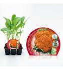 Pack Coliflor Jaffa 6 Ud. Brassica oleracea var. botrytis