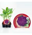 Pack Coliflor Morada 6 Ud. Brassica oleracea var. botrytis