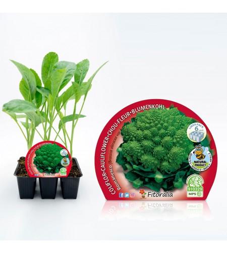 Pack Coliflor Romanesco 6 Ud. Brassica oleracea var. botry - 02031044 (1)