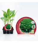 Pack Coliflor Romanesco 6 Ud. Brassica oleracea var. botry