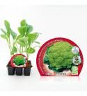 Pack Coliflor Verde 6 Ud. Brassica oleracea var. botrytis