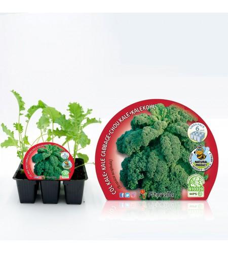 Pack Col Kale 6 Ud. Brassica acephala - 02031075 (1)